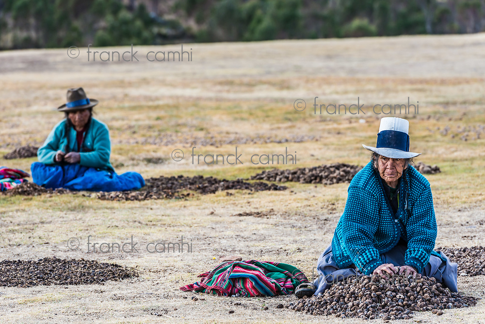 Chincheros, Peru - July 23, 2013: women collecting moraya at Chincheros town in the peruvian Andes at Cuzco Peru on july 23, 2013