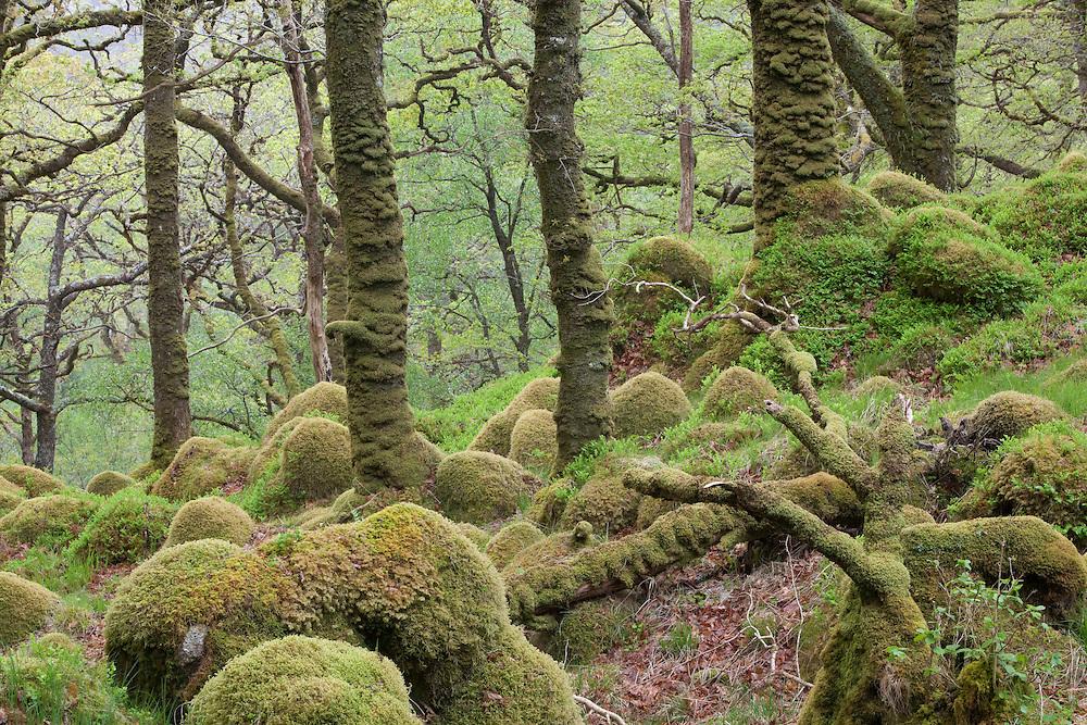 Spring in Sunart Oakwoods, Ardnamurchan, Scotland.