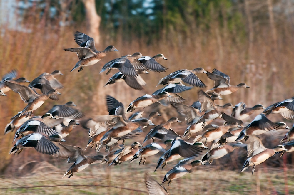 A flock of American and Eurasian wigeons at Magnuson Park in Seattle, Washington. Photo by William Byrne Drumm.