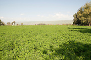 Israel, Hula Valley, Kibbutz Hulata, An endless field of Alfalfa (Medicago sativa)
