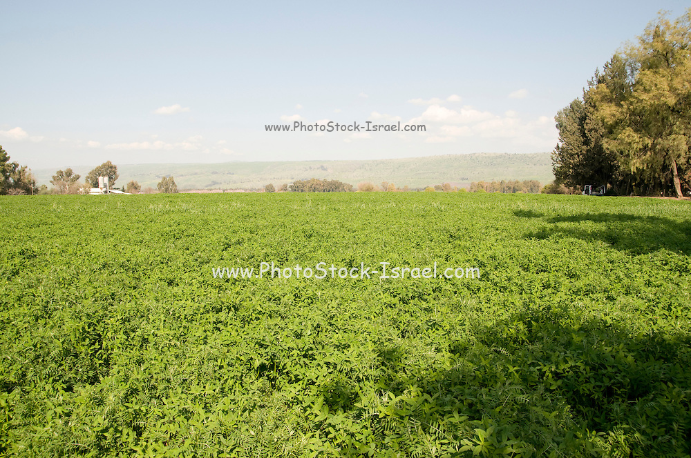 Israel, Hula Valley, Kibbutz Hulata, An endless field of Alfalfa (Medicago sativa)