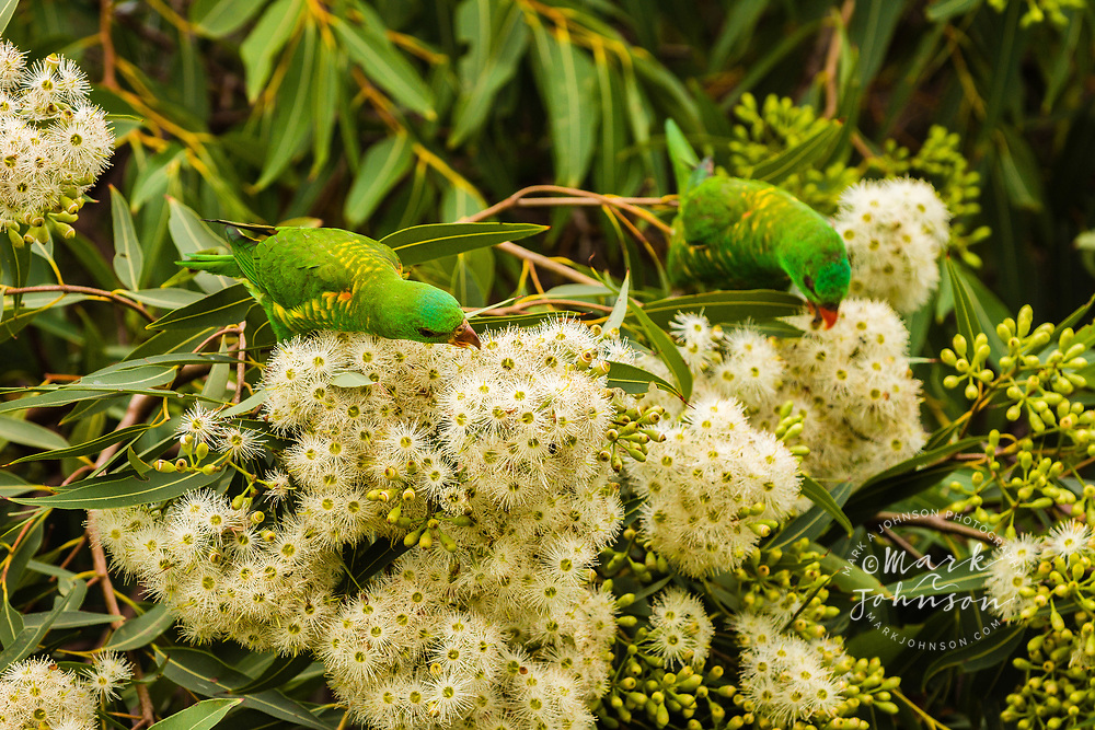 Scaly-Breasted Lorikeets (Trichoglossus chlorolepidotus) feeding on gum tree flowers, Moffat Headland, Queensland, Australia