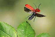 cardinal beetle<br /> Pyrrhochroa serraticornis