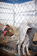 Greyhound Rescue Intake #2. Rescued dogs are staged to a temporary holding pen until volunteers bathe and groom them, ready for their foster families.