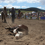 Nigel Cameron from Fairlie in action in the Rope and Tie competition during the Millers Flat Rodeo. Otago, New Zealand. 26th December 2011