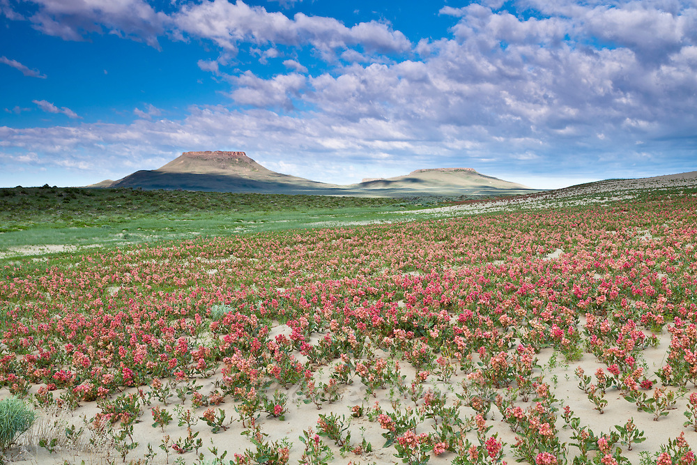 Wildflower bloom in summer at the edge of the Killpecker Sand Dunes in the Red Desert of Wyoming with North & South Table Mountain in background