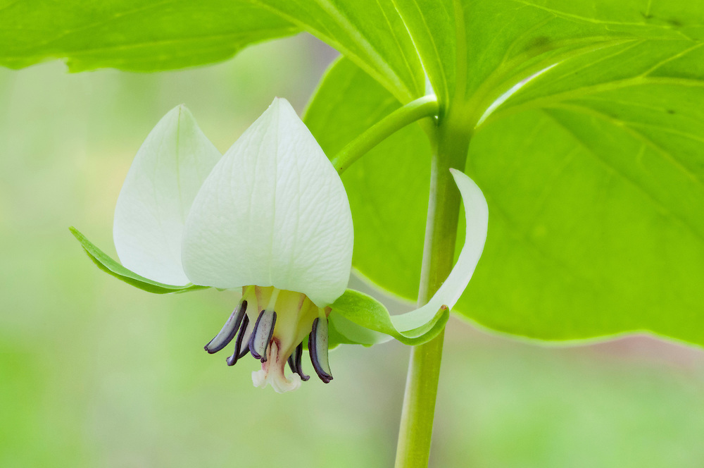 Trillium cernuum, Nodding Trillium, Nodding Wakerobin, Pictured Rocks, Grand Marais, Michigan