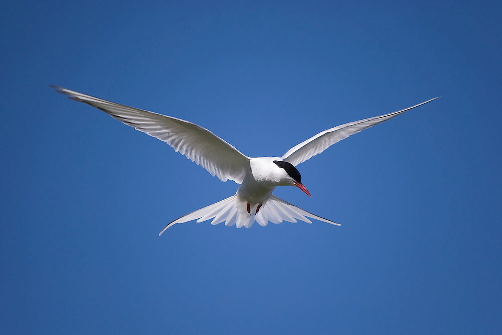 Arctic tern searching for food