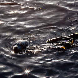 Harbor Seal (Phoca vitulina) Swimming in Kelp, San Juan Island, Washington, US
