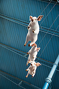 Flying pigs inside Market Hall building, Abergavenny, Monmouthshire, South Wales,