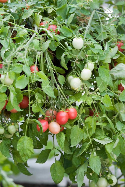 Tomato 'Gartenperle'. Heirloom cherry variety good for hanging baskets