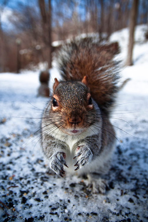 A squirrel is waiting for food on a winter day on Mount-Royal, Montreal, Canada.