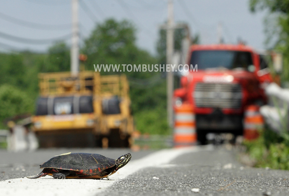 A painted turtle crosses the closed section of Route 211 on Tuesday, May 31, 2011. The section of road east of Otisville has been closed since a washout caused by flooding in March.