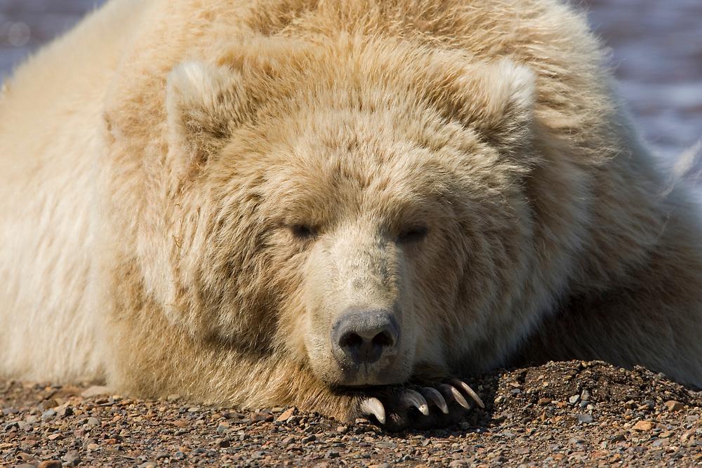 USA, Alaska, Katmai National Park, Brown bear (Ursus arctos) sleeping in river bed along Hallo Bay