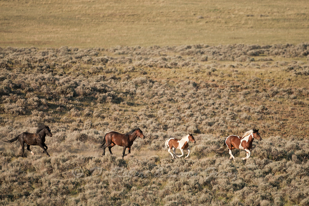 Band of wild horses in Wyoming