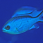 Blue Chromis inhabit reefs feeding in open water above, in Tropical West Atlantic; picture taken Grand Cayman.