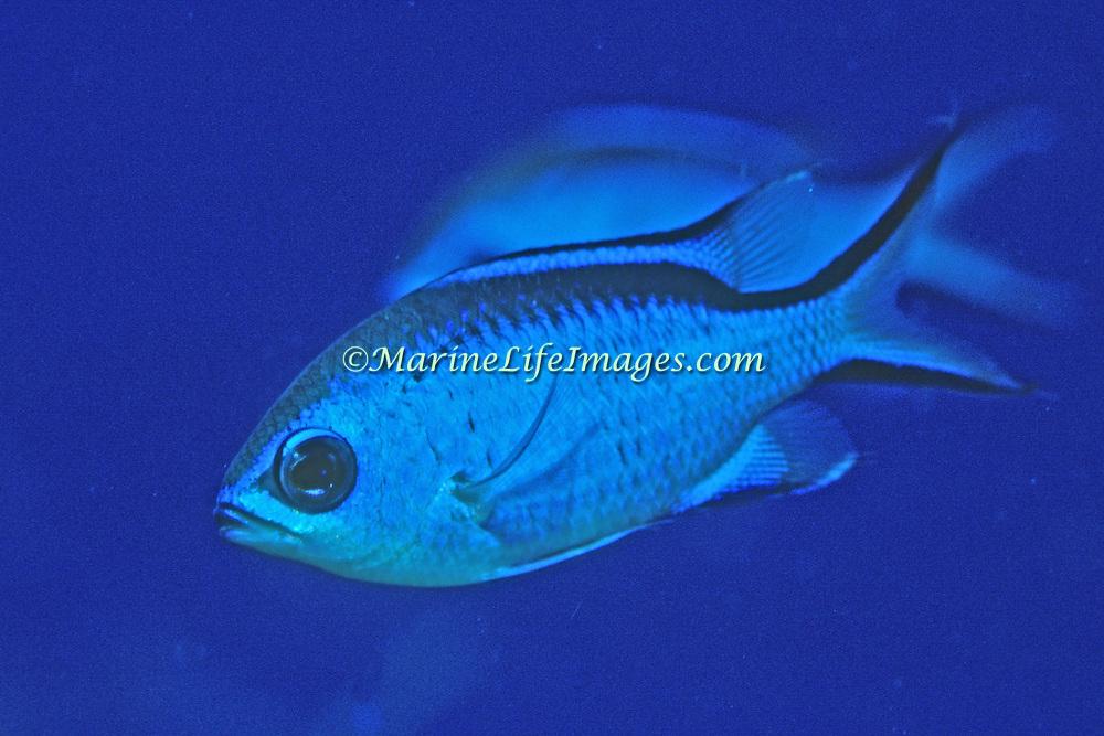 Blue Chromis inhabit reefs feeding in open water above, in Tropical West Atlantic; picture taken Grand Cayman.