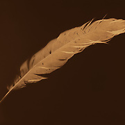 "Lumen print of feather. Available to license and as limited edition archival 20""x24"" prints."