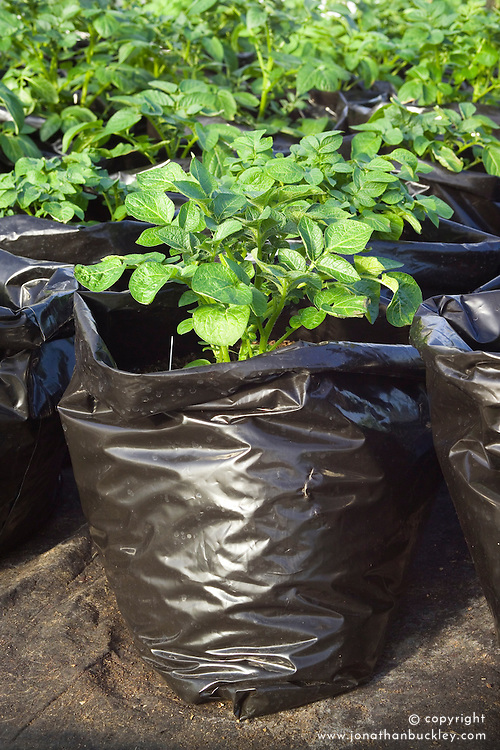 Growing forced potatoes in black plastic bin sacks for an early crop