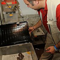 Calimaya, México.- El herpetario del zoológico de Zacango se ha convertido en lugar de recepción de decomisos realizados por parte de PROFEPA, aquí se reciben animales como iguanas, serpientes, tortugas, cocodrilos, geckos crestados;  en su mayoría son especies en peligro de extinción y con las cuales se trafica en diversas partes, aquí se brindan los cuidados especiales para que los animales puedan recuperarse rapidamente. Agencia MVT / Crisanta Espinosa