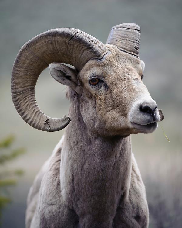 Rocky Mountain Bighorn Ram - Ovis canadensis - Yellowstone National Park, Wyoming