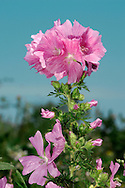 MUSK-MALLOW Malva moschata (Malvaceae) Height to 75cm<br /> Branched and hairy perennial. Found in dry, grassy places. FLOWERS are 3-6cm across and pale pink; in terminal clusters (Jul-Aug). FRUITS are round and flat capsules. LEAVES are rounded and 3-lobed at base of plant but increasingly dissected up the stem. STATUS-Widespread and locally common in England and Wales; scarce elsewhere.