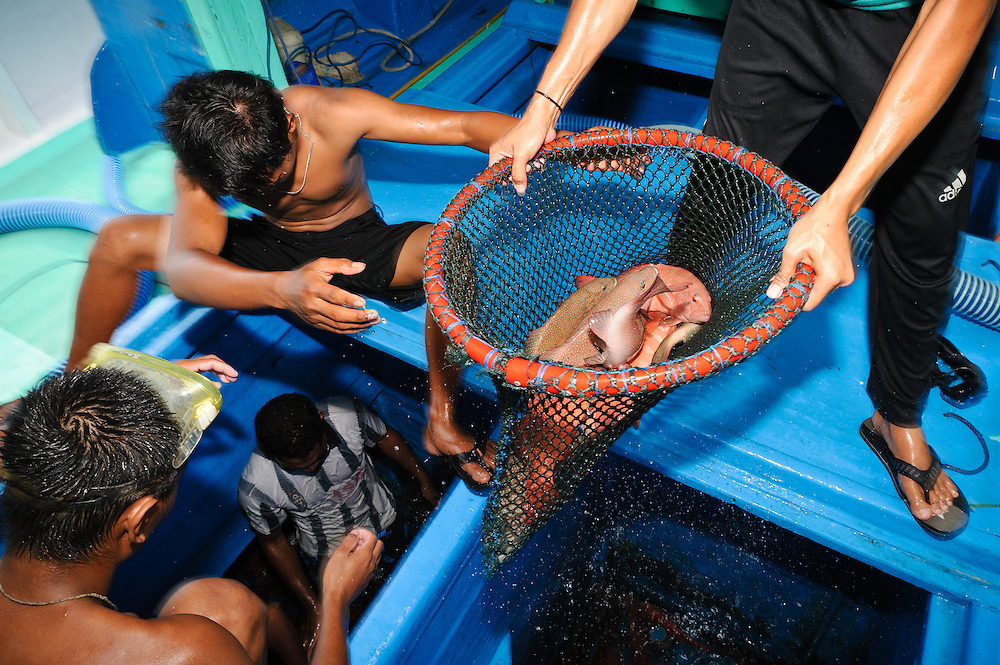 Live grouper being unloaded from a Pulau Mas boat at Benoa harbour, Bali, Indonesia. The grouper are destined for export to Hong Kong.  The live reef fish trade is a highly lucrative business that is associated with several, highly destructive fishing methods, including the use of cyanide to stun and capture the fish alive.  However, Pulau Mas uses more sustainable practices and the company supports the use of traditional handline fishing methods, refuses to trade in fish caught using cyanide and enforces a minimum catch size.