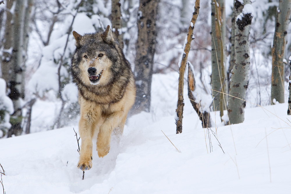 Timber Wolf (Canis lupus) - USA