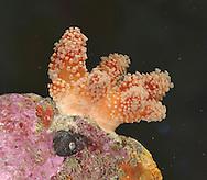 Red Fingers - Alcyonium glomeratum