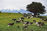 "Cattle gather by a tree in a green pasture below Osorno Volcano in the Andes mountain range, in Los Lagos Region, Chile, South America. This stratovolcano rises to 2652 meters (or 8701 feet elevation) between Osorno Province and Llanquihue Province. Volcan Osorno is one of the most active volcanoes of the southern Chilean Andes, with 11 historical eruptions recorded between 1575 and 1869, where basalt and andesite lava flows reached Lakes Llanquihue and Todos los Santos. Osorno sits on top of a 250,000-year-old eroded stratovolcano, La Picada, with a 6-km-wide caldera. Despite its modest altitude and latitude, the cone of Volcan Osorno is covered by glaciers deposited by heavy snowfall wrung from the moist maritime climate. What international tourist literature calls the ""Chilean Lake District"" usually refers to the Andean foothills between Temuco and Puerto Montt including three Regions (XIV Los Ríos, IX La Araucanía, and X Los Lagos) in what Chile calls the Zona Sur (Southern Zone)."