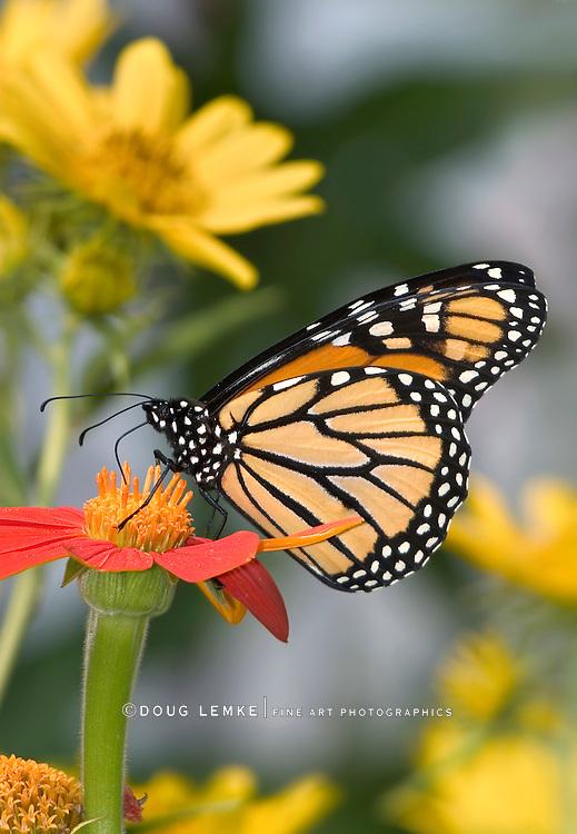 Monarch Butterfly On Red Flower, Danaus plexippus