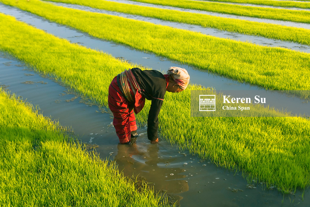 Woman tends to rice seedlings, Kengtung, Myanmar