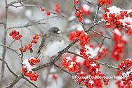 01569-01803 Dark-eyed Junco (Junco hyemalis) in Winterberry bush (Ilex verticillata) in winter Marion Co. IL
