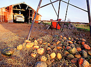Rotting pumpkins and old truck in shed, rural East Coast Australia