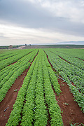 Crops grow Agricultural field
