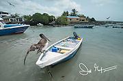 A Brown pelican spreads its wings on a fishing boat in Puerto Ayora, Santa Cruz, Galapagos.