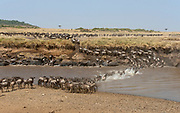 A large herd of wildebeest cross Mara River during the great migration. Maasai Mara, Kenya in July 2013.