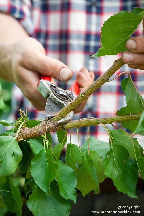 Pruning a plum tree using secateurs