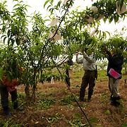 Peach Farmers, Takanua, Ming Shen, Namasiya Township, Kaoshiung County, Taiwan