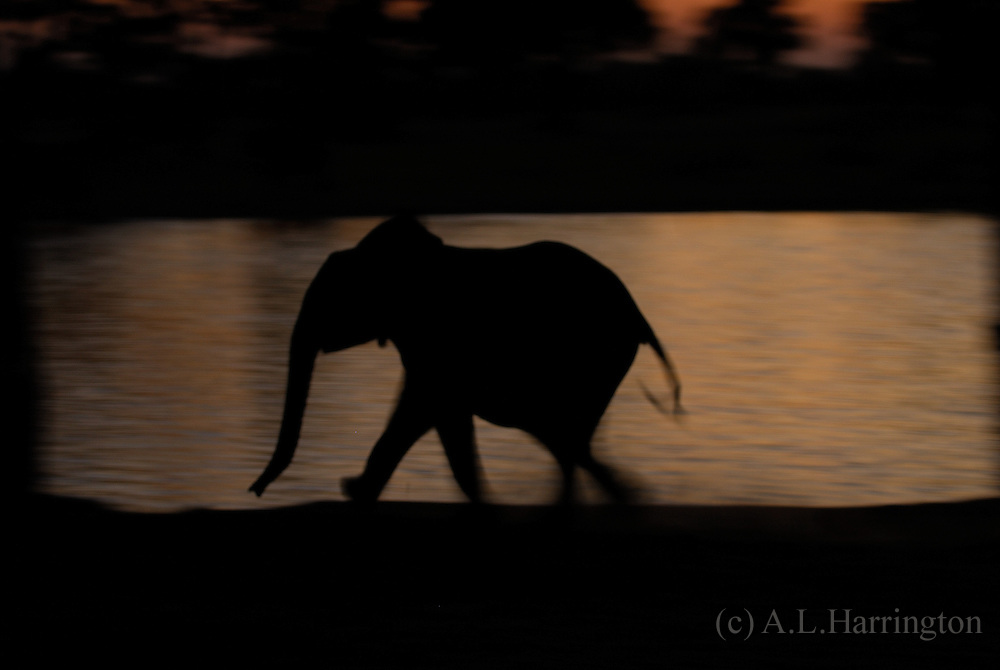 Young Elephant at Makwa pan