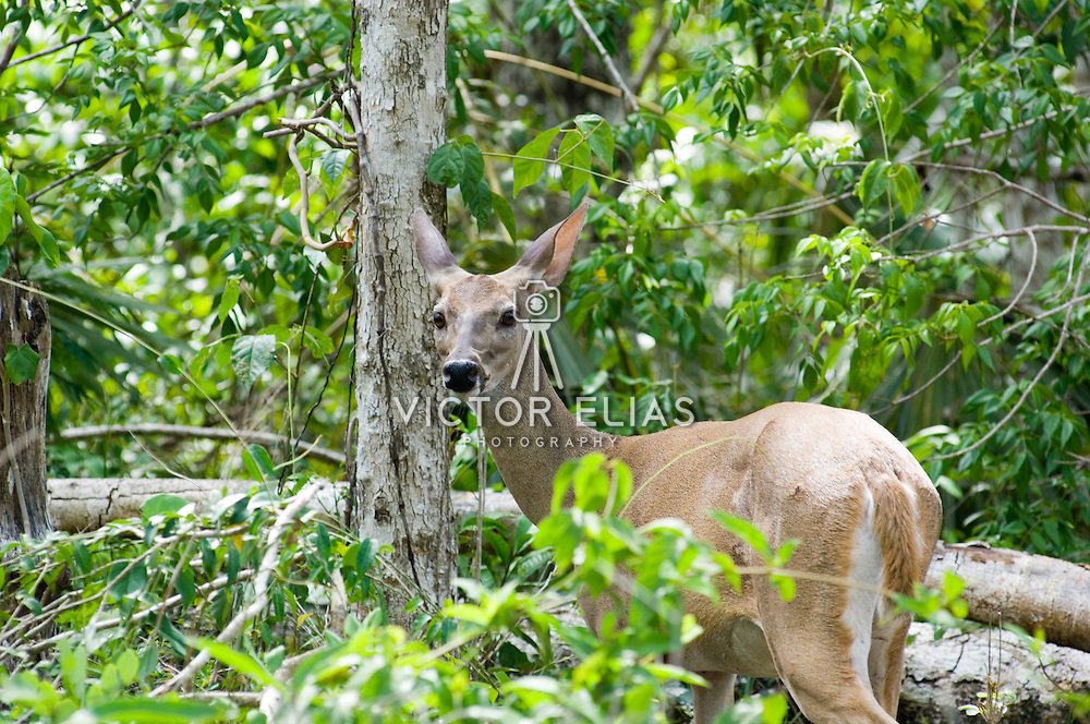 Deer in the jungle..Riviera Maya, Quintana Roo. .Mexico.
