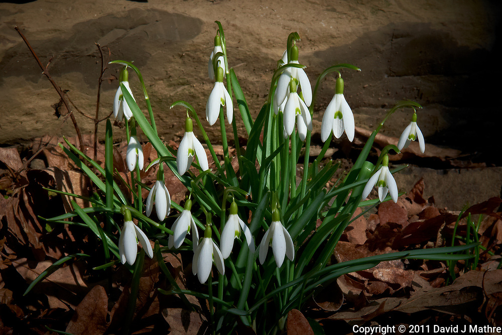 Late winter snow-drop blooms. Image taken with a Leica D-Lux 5 camera (ISO 100, 15 mm, f/8, 1/320 sec).