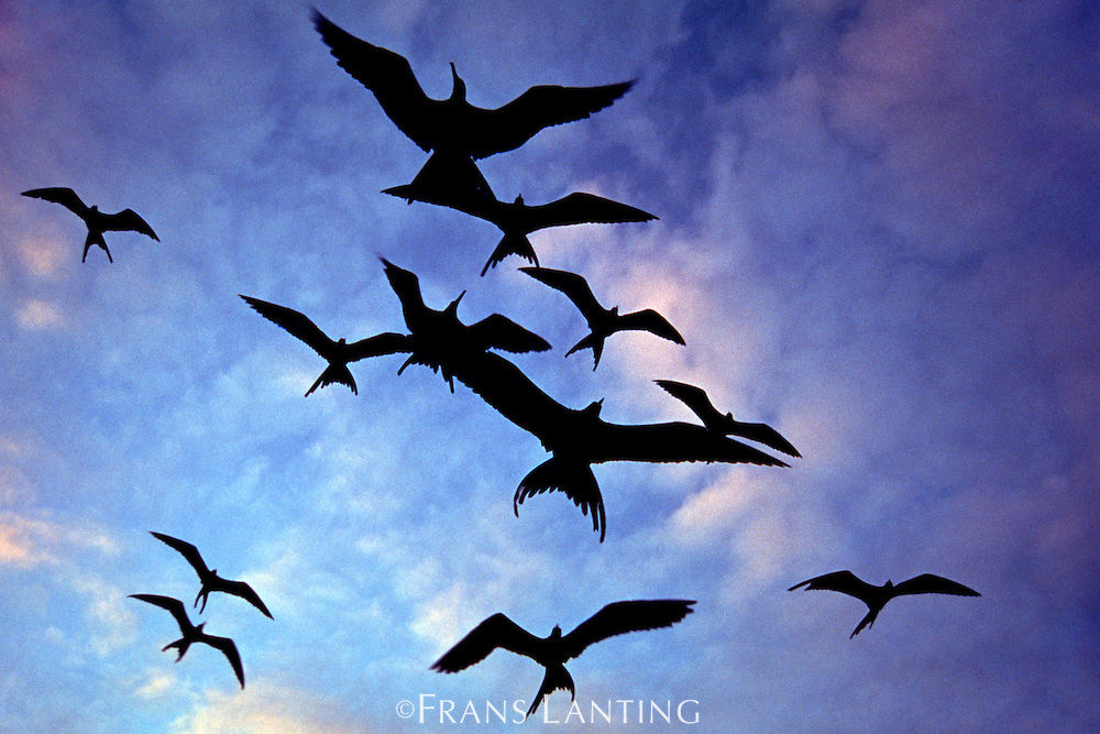 Magnificent frigate birds in flight, Fregata magnificens, Galapagos Islands