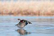 Wood Duck, Aix sponsa, male, Saginaw Bay, Michigan