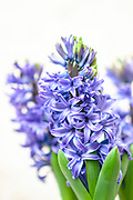 Selective focus of a purple Hyacinth (Hyacinthus orientalis hybrid)