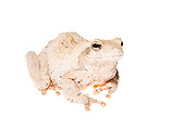 Studio portrait of a grey foam-nest tree frog or southern foam-nest tree frog (Chiromantis xerampelina)on a white background.