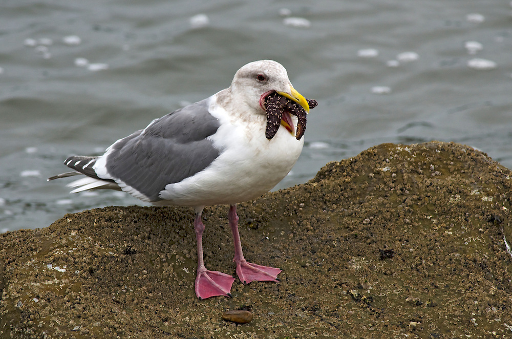 Western Gull eating a sea star