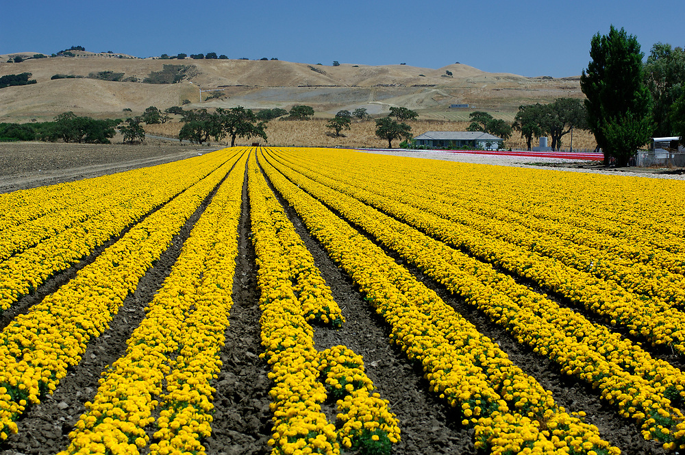 Flower fields, near Gilroy, California, United States of America