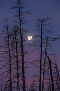 An eerie full moon hangs over the burned pines surrounding Yellowstone Lake on Halloween morning.