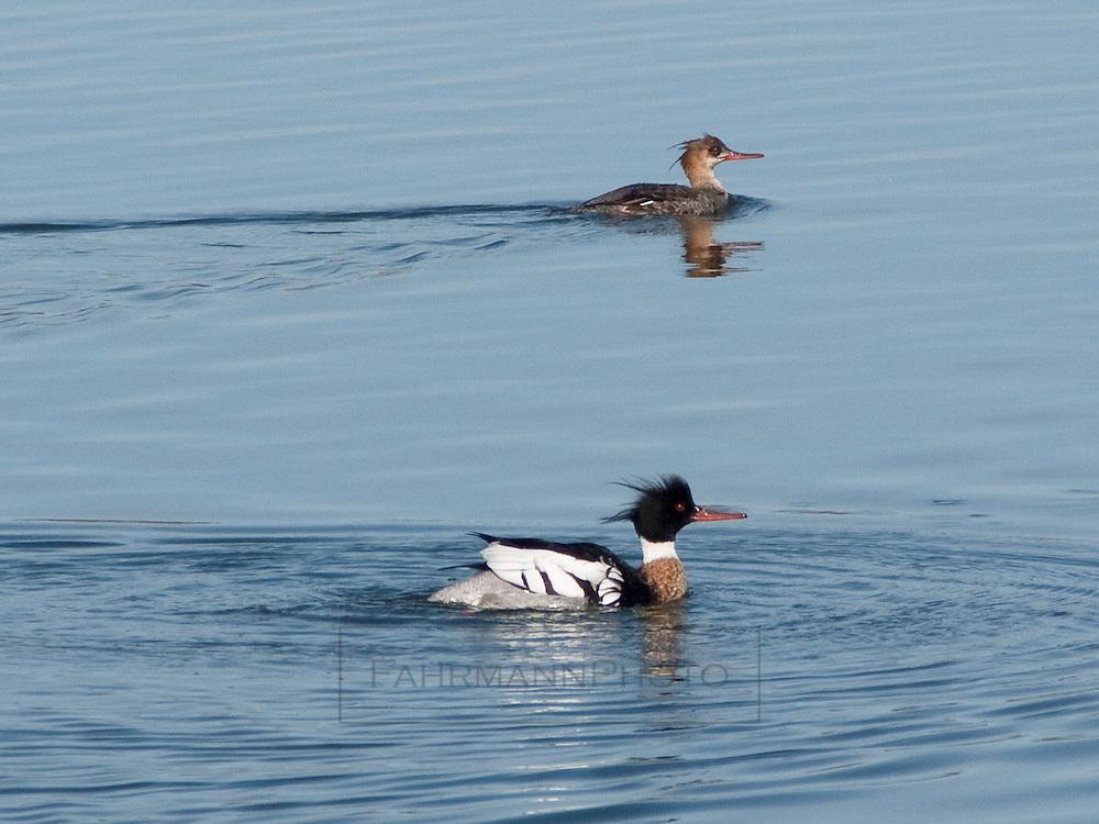 Red-breasted Merganser Pair on Lake Nokomis in Early Spring